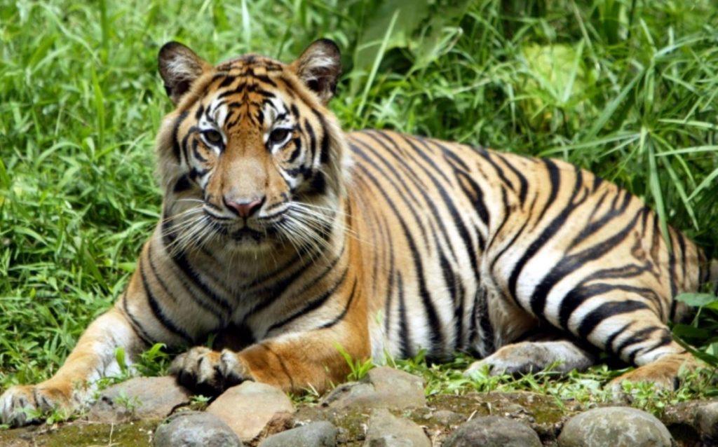 เสือโคร่งสุมาตรา ที่ใกล้สูญพันธุ์ฟื้นตัวจากโควิดในสวนสัตว์จาการ์ตาในประเทศอินโดนีเซีย เสือโคร่งสุมาตราเพศผู้ 2 ตัวกำลังฟื้นตัวจากโรคโคโรนา