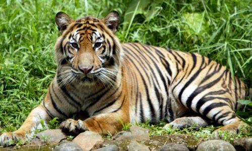 เสือโคร่งสุมาตรา ที่ใกล้สูญพันธุ์ติดโควิด